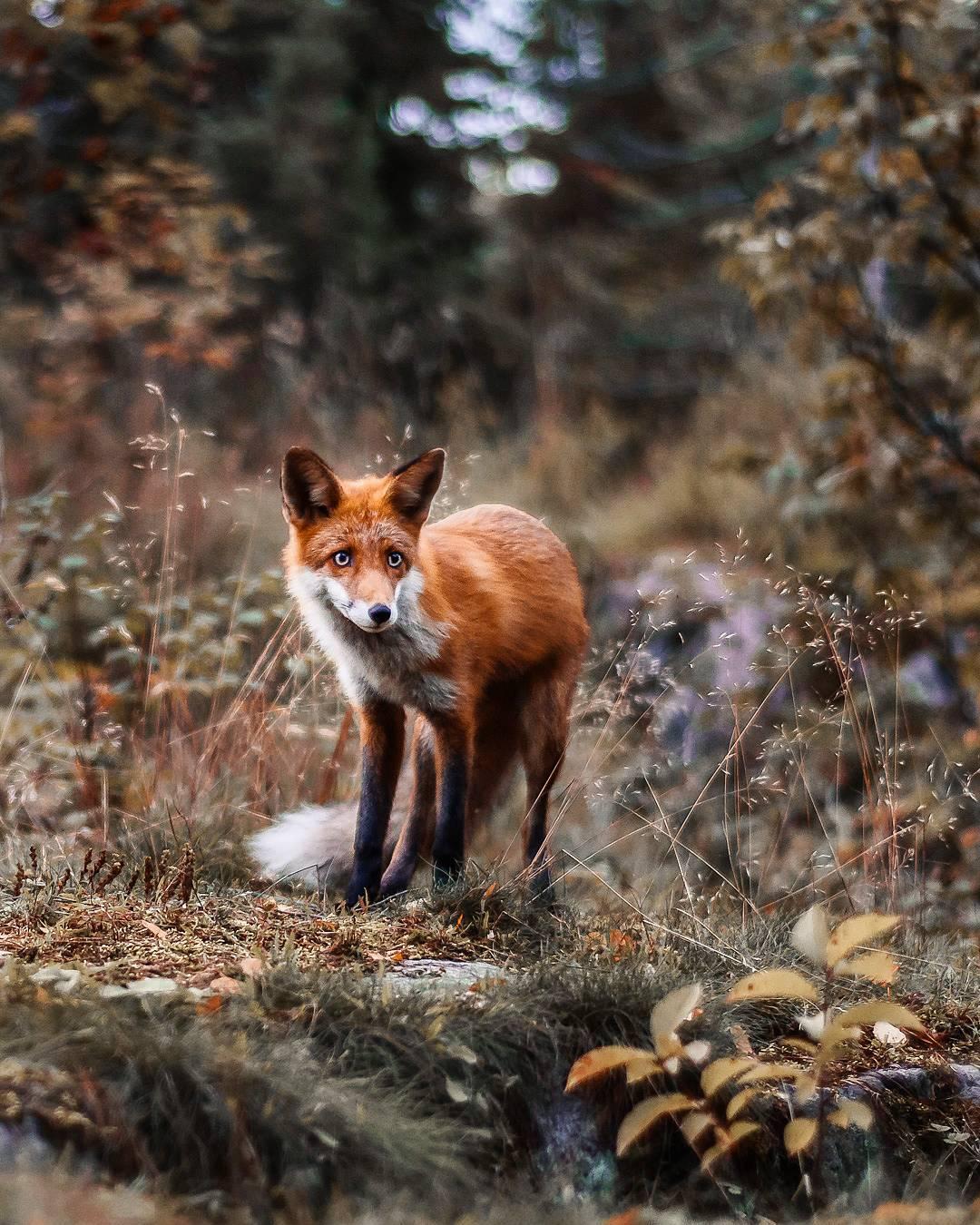 Дикая природа Финляндии: сказочные портреты животных Йоахима Мюнтера