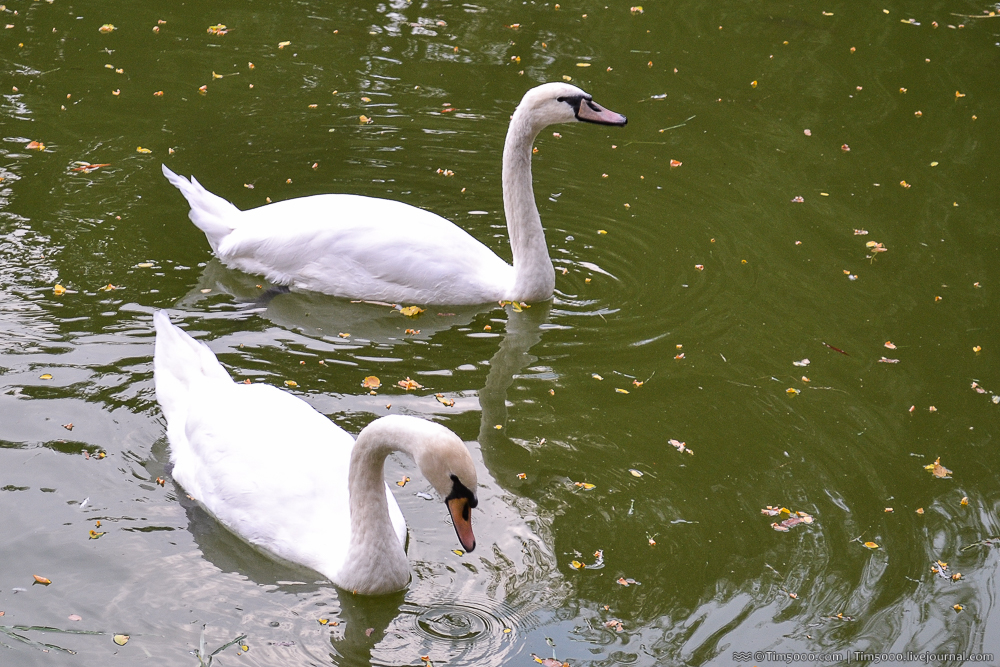 озеро с лебедями