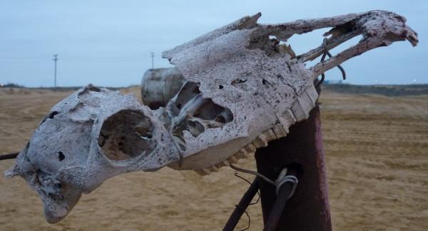 camel_skull