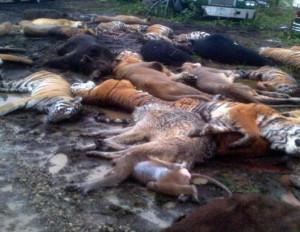 вита убитые тигры
