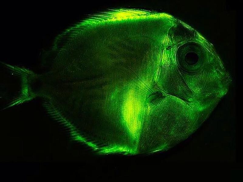 глубоководные светящиеся рыбы фото