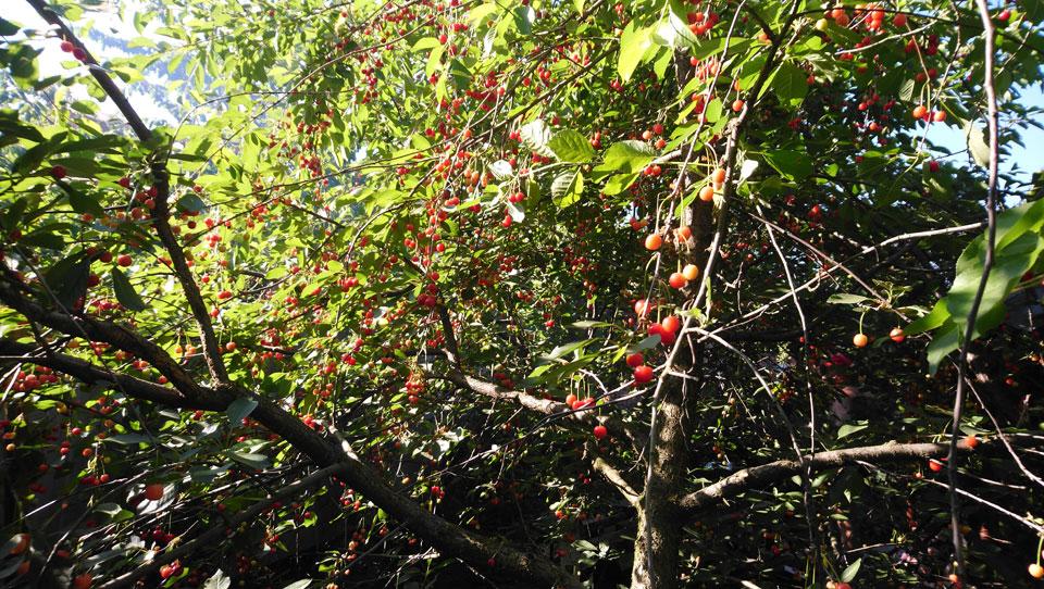 вишни-1.jpg