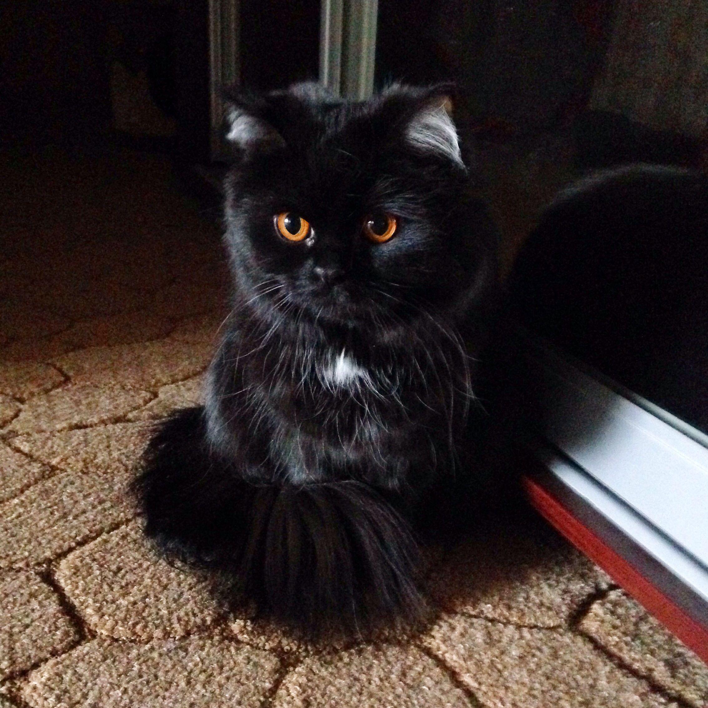 Черный персидский котенок фото