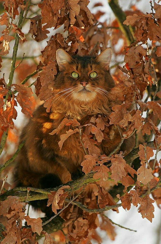 самайнский кот