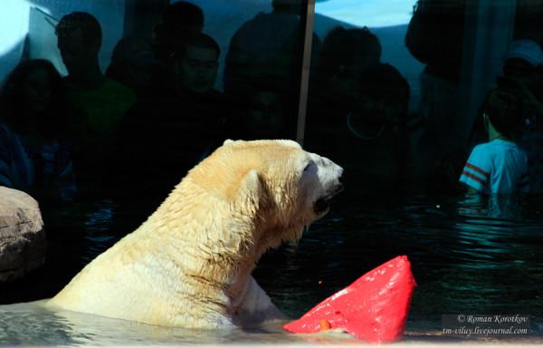 Зоопарк Сан-Диего, полярный медведь