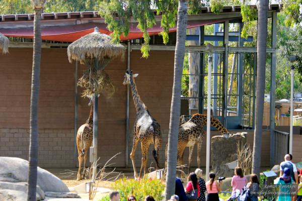 Зоопарк Сан-Диего, жираф