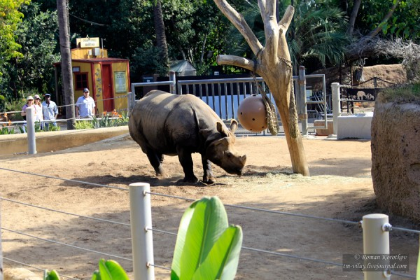 Зоопарк Сан-Диего, носорог