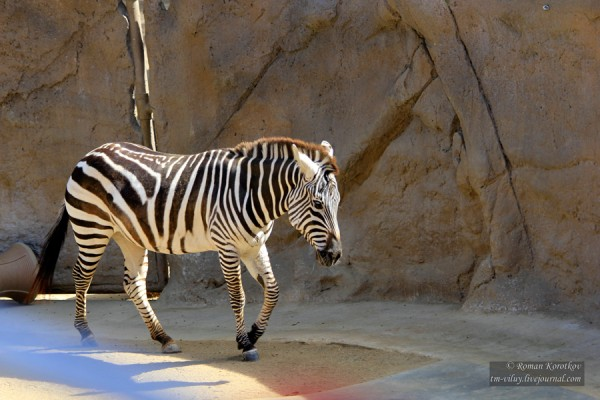 Зоопарк Сан-Диего, зебра