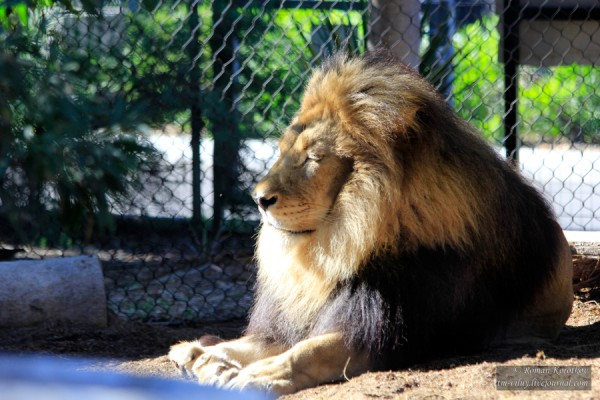 Зоопарк Сан-Диего, лев