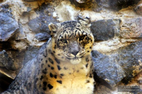 Зоопарк Сан-Диего, снежный барс