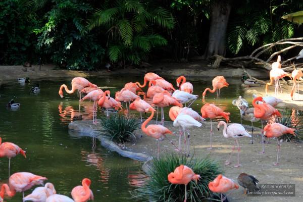 Зоопарк Сан-Диего, фламинго