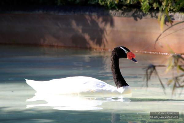 Зоопарк Сан-Диего, лебедь