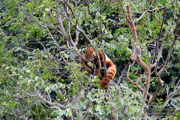 Зоопарк Сан-Диего, красная панда