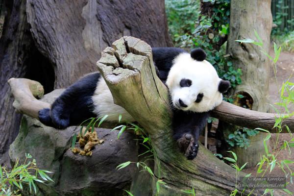Зоопарк Сан-Диего, панда