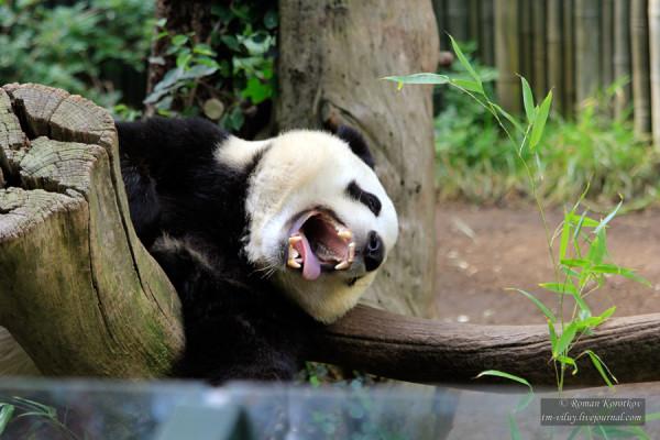 Зоопарк Сан-Диего, китайский панда