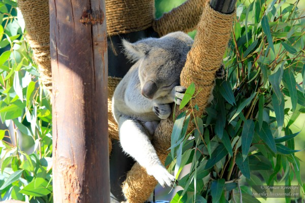 Зоопарк Сан-Диего, коала