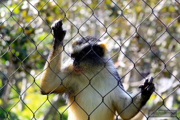 Зоопарк Сан-Диего, обезьяна