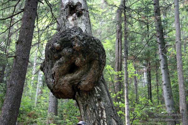Таганай: дерево - леший