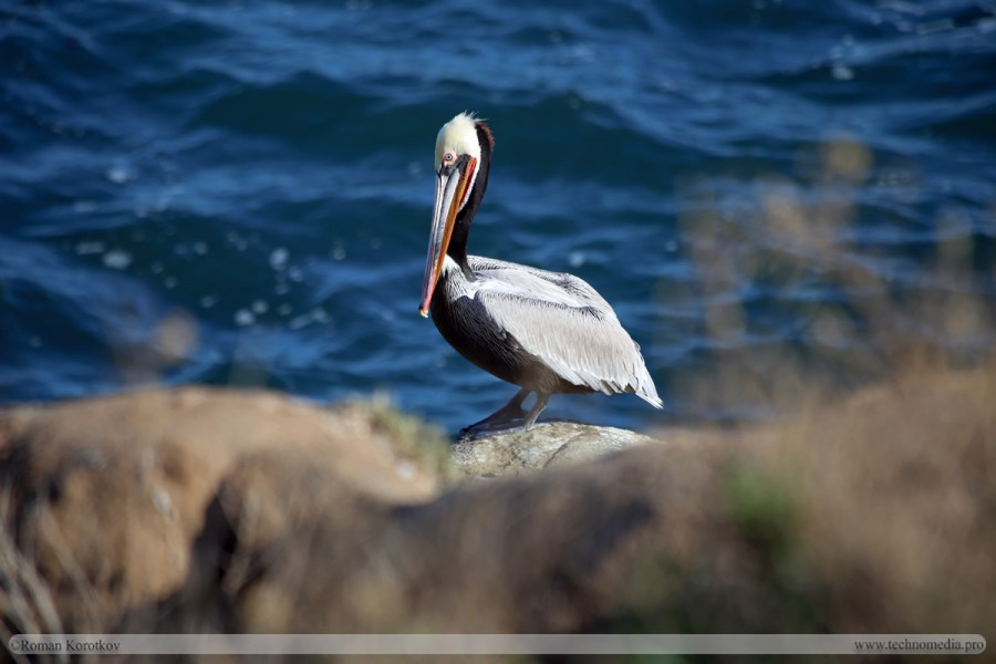 Американский калифорнийский бурый пеликан