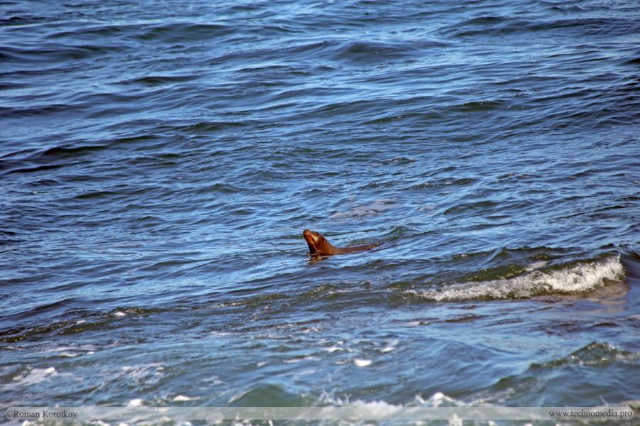 Морские калифорнийские львы