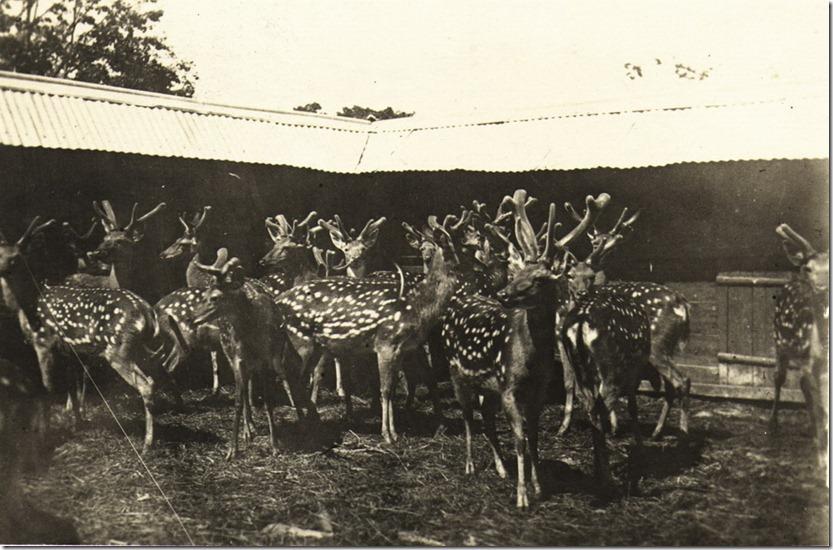 Пантачи в оленнике.  Сидеми 1916