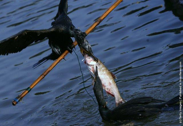 бакланы в китае ловят рыбу