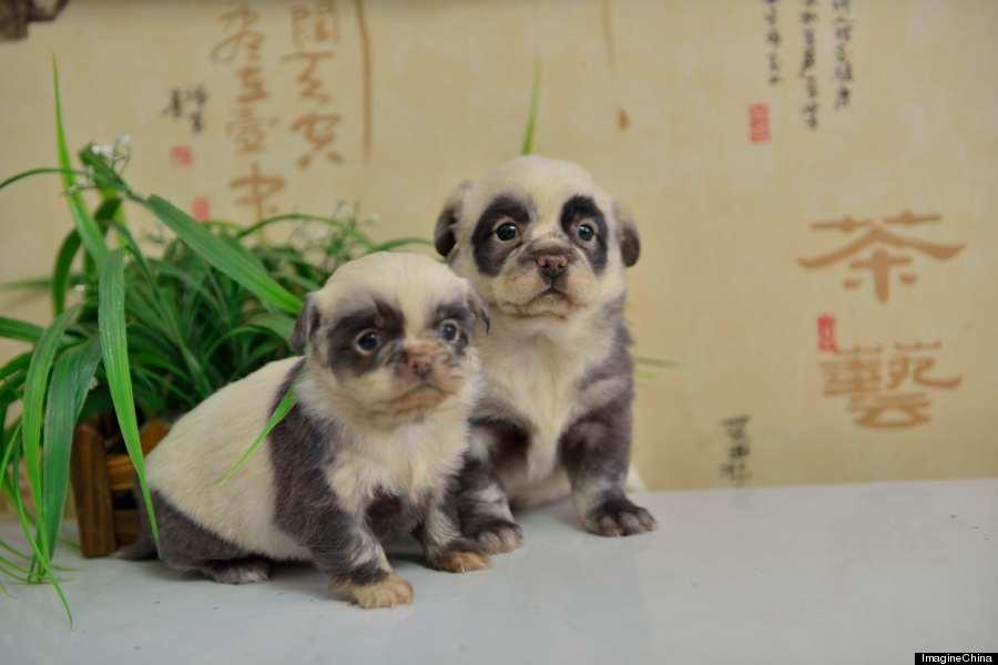 o-PANDA-PUPPIES-900