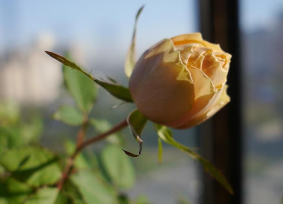 rose2_sm