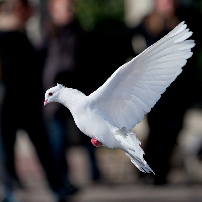 фото белой голубки тебя троекратно