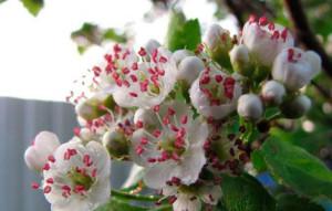 Cvety-bojaryshnika (1)