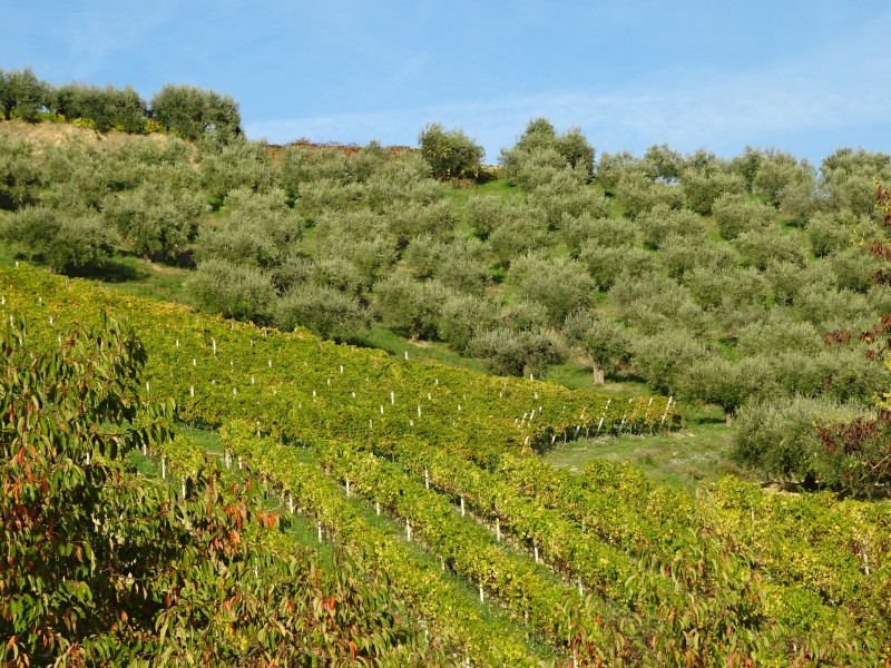 Виноградники и оливы