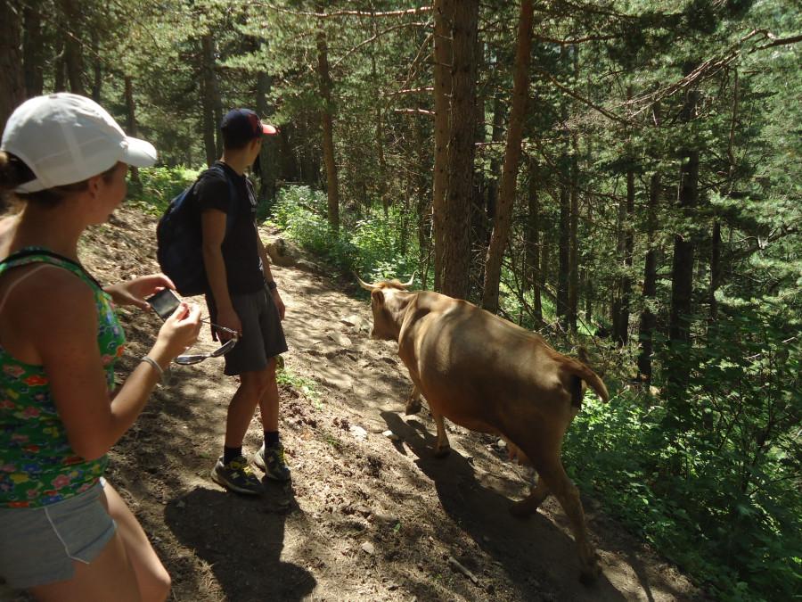 Расхождение с коровами