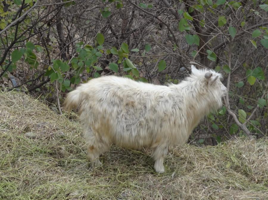 Шерстяной козел