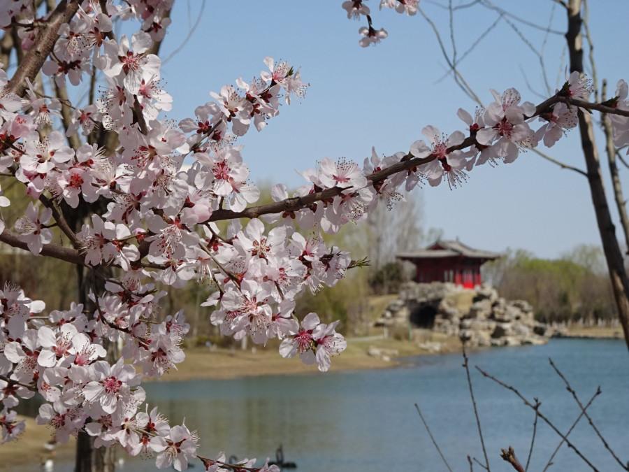 Цветущие ветви и пагода