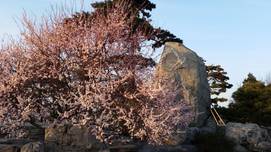 Лесной парк - цветущее дерево у камня