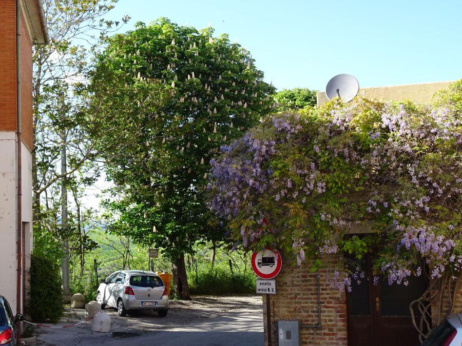 Урбс Сальвия - деоевья в цвету