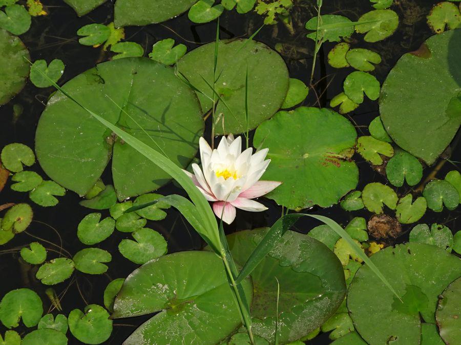 лилия крупно