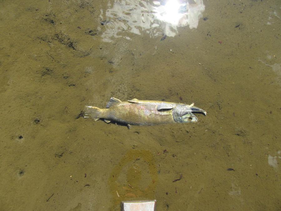 Мертвая рыба в иссохшей реке