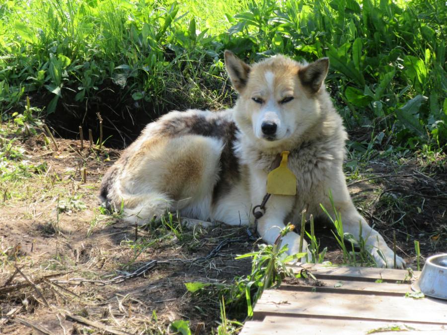 Заслуженный пес Печень