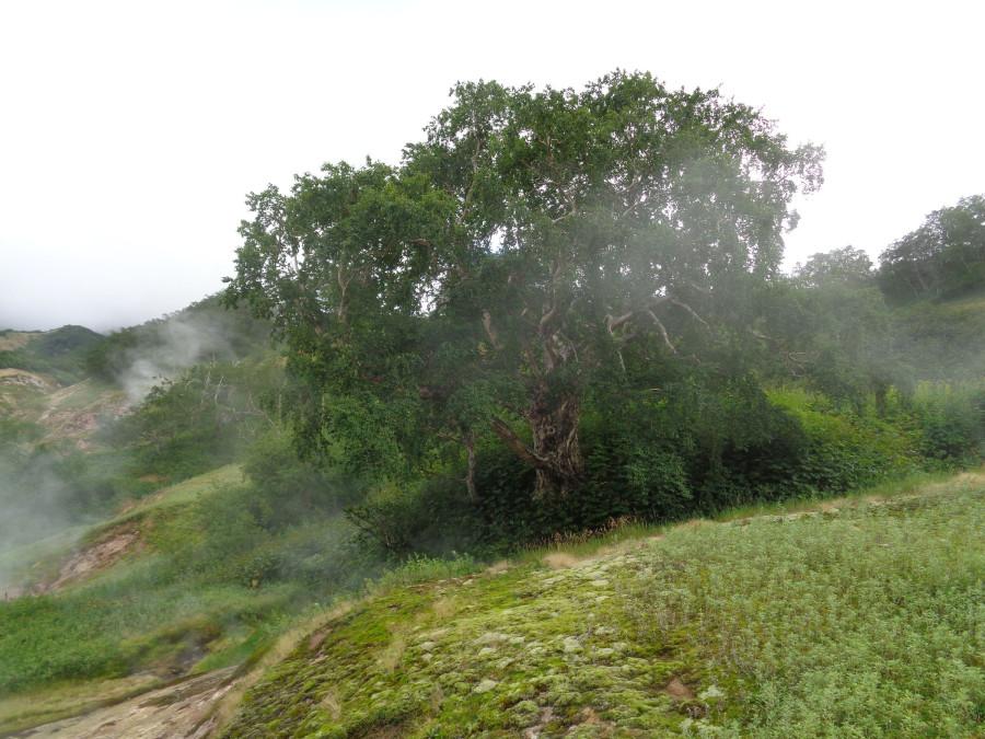 Долина - старая береза