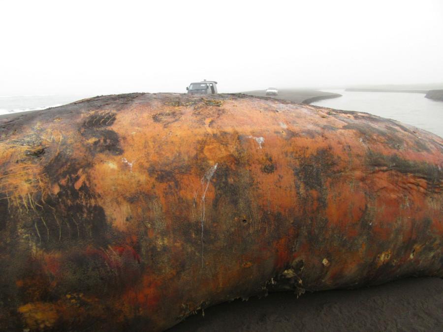 Поцарапанный кит