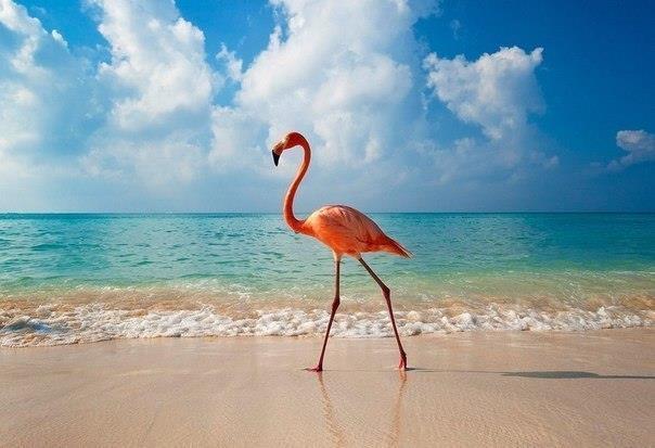 Фламинго на фоне моря