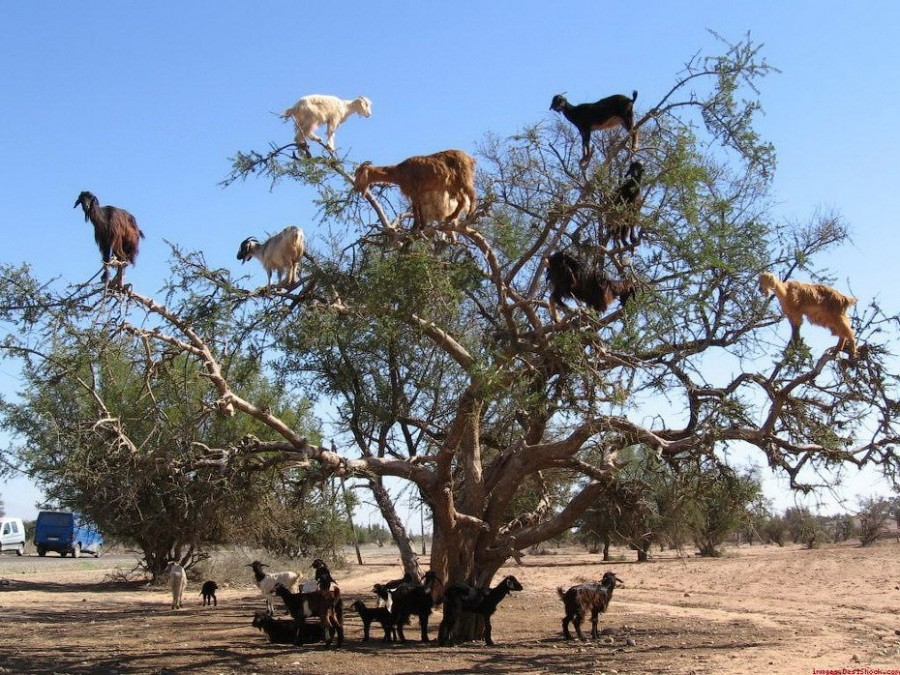 Козы на аргонии в Марокко