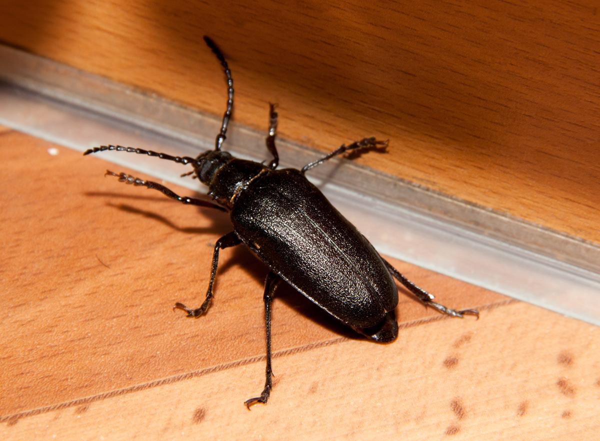 Домашние черные жуки фото