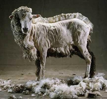 ovca-posla-strigki