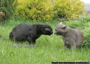 Чёрный и серый котэ