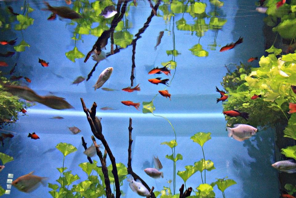аквариумные рыбка