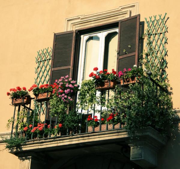 balkonyflower