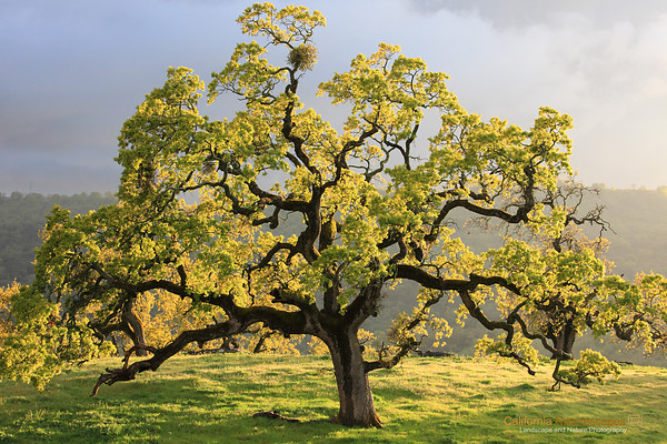 oak_tree_california
