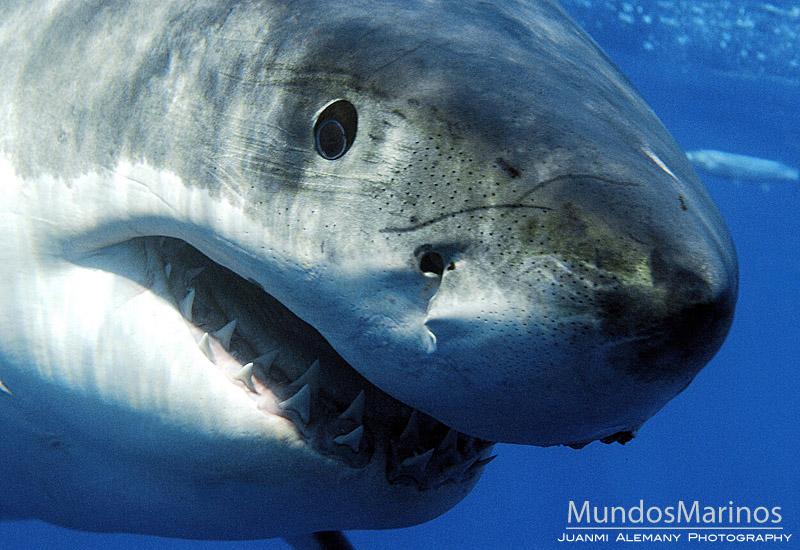 tiburonblanco21